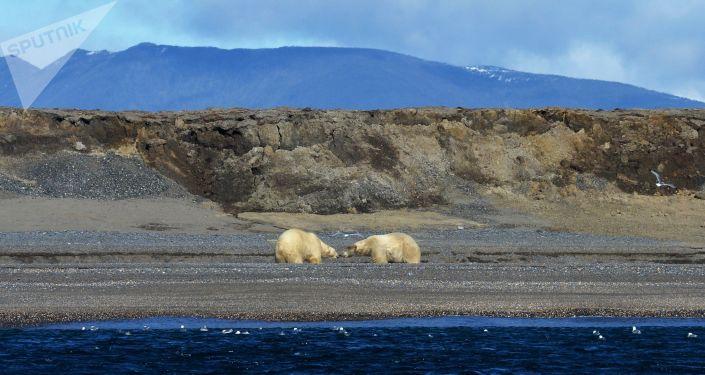 Due orsi bianchi alla baia di Blossom, isola di Wrangel - 2017