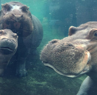 Un cucciolo dell'ippopotamo Fiona con i suoi genitori allo zoo di Cincinnati.