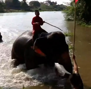 Le gare di elefanti in Thailandia