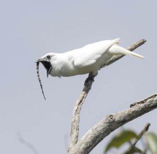 campanaro amazzonico