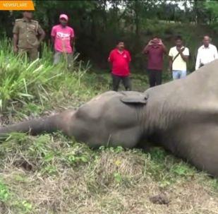 L'uccisione degli elefanti in Sri Lanka