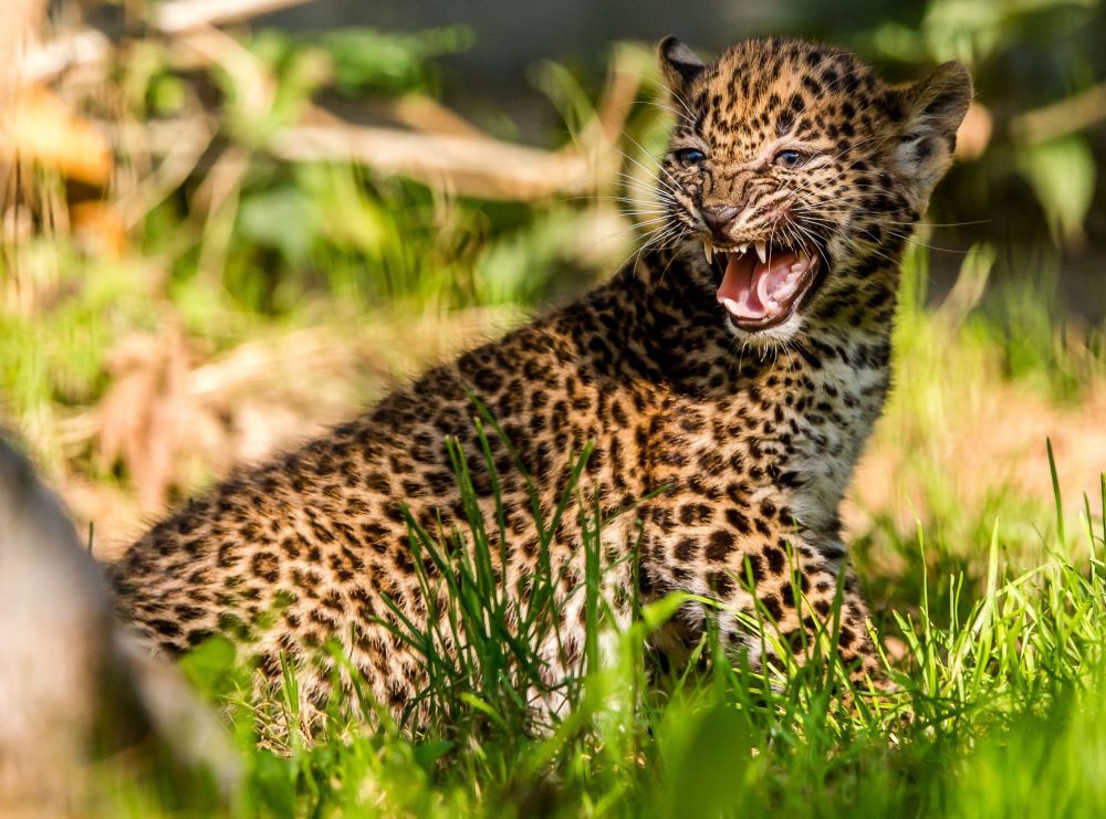 cucciolo di Leopardo