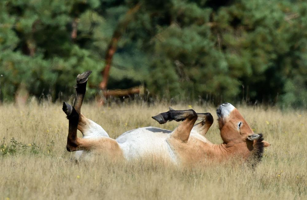 Pony della Mongolia