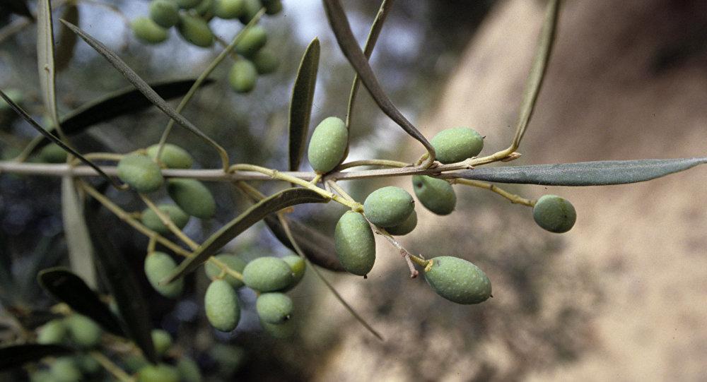 Ulivo,fico, albicocco, mandorlo, pesco, agrumi, ciliegio, gelso e numerose piante ornamentali specie vegetali non potranno più essere esportate dalla Puglia in Francia