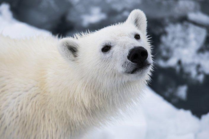 Un orsetto bianco nell'Artide