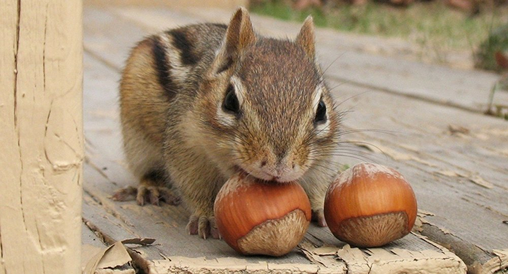 Un scoiattolo striato (Tamias)