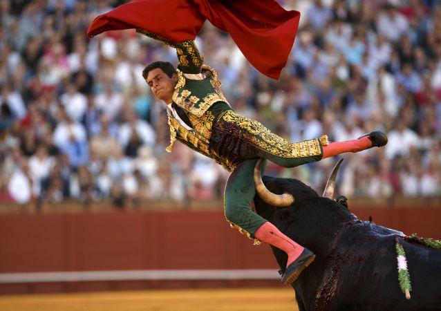 Il matador David Galvan incornato da un toro a Siviglia.