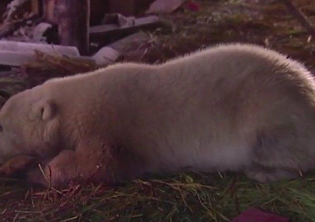 Salvataggio di un orso in Chukotka