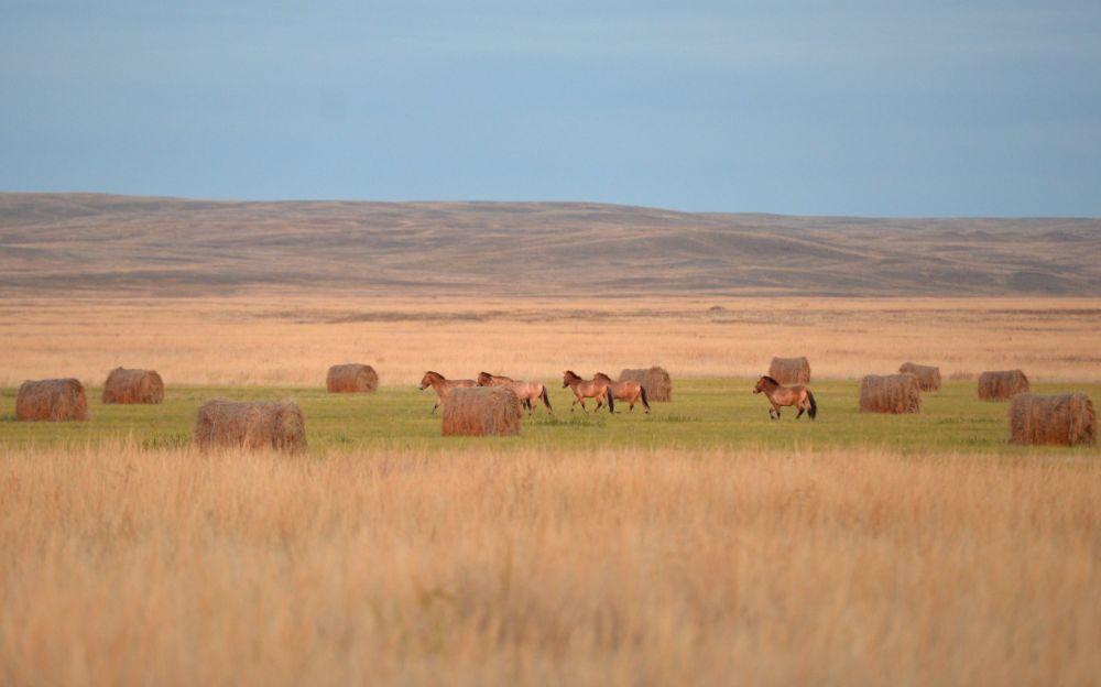 I cavalli di Przewalski.
