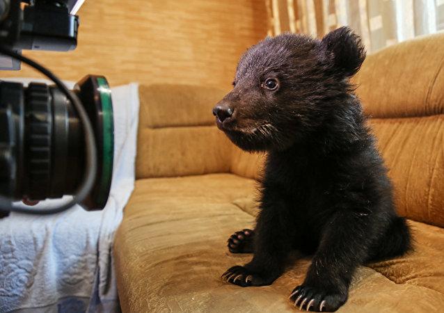 Un cucciolo di orso davanti all'obiettivo di un fotografo