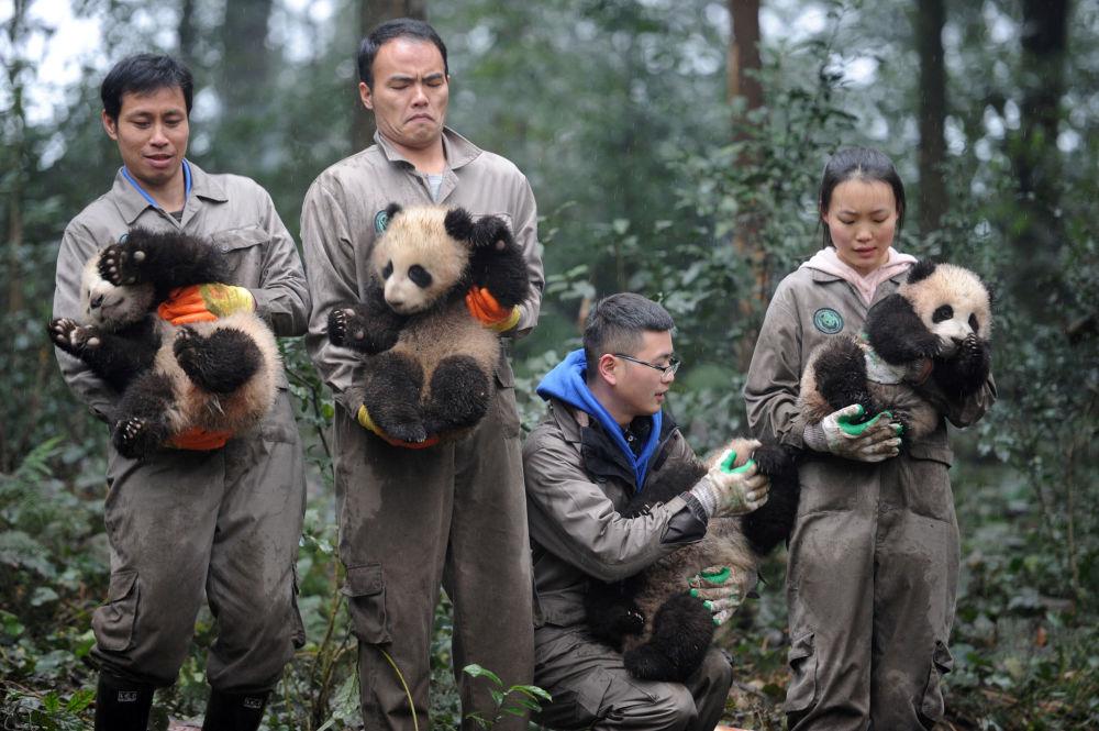 I ricercatori del Centro cinese per la tutela e lo studio dei panda giganti a Ya'an tengono in braccia cuccioli di panda.