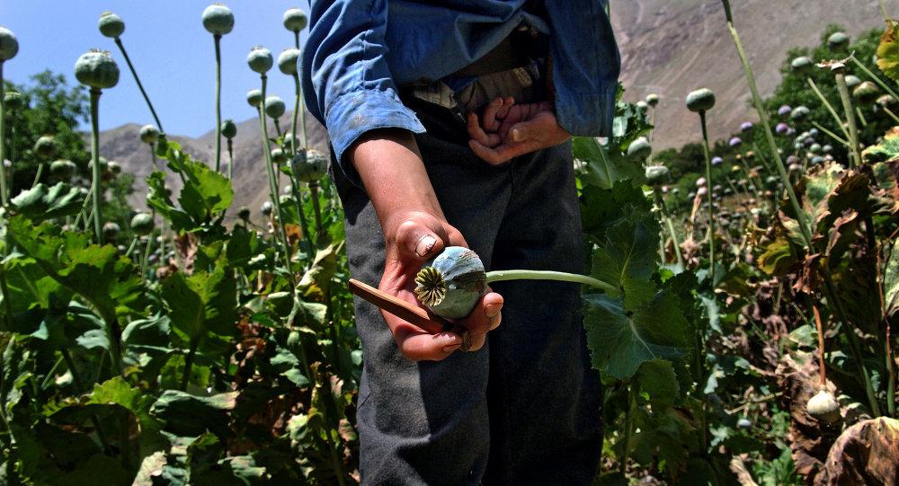 A close-up of an opium poppy