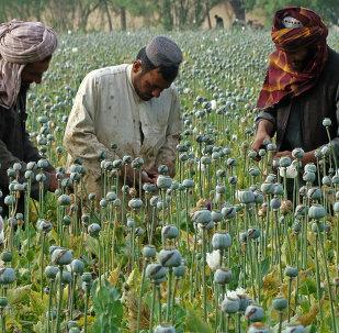 Papaveri da oppio in Afghanistan