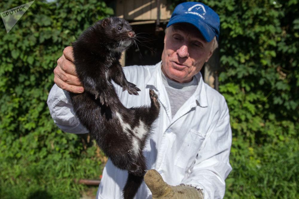 Uno degli scienziati della fattoria sperimentale dell'Istituto di citologia e genetica del dipartimento siberiano dell'Accademia delle Scienze della Russia.