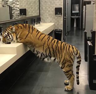Una tigre nel bagno sbagliato