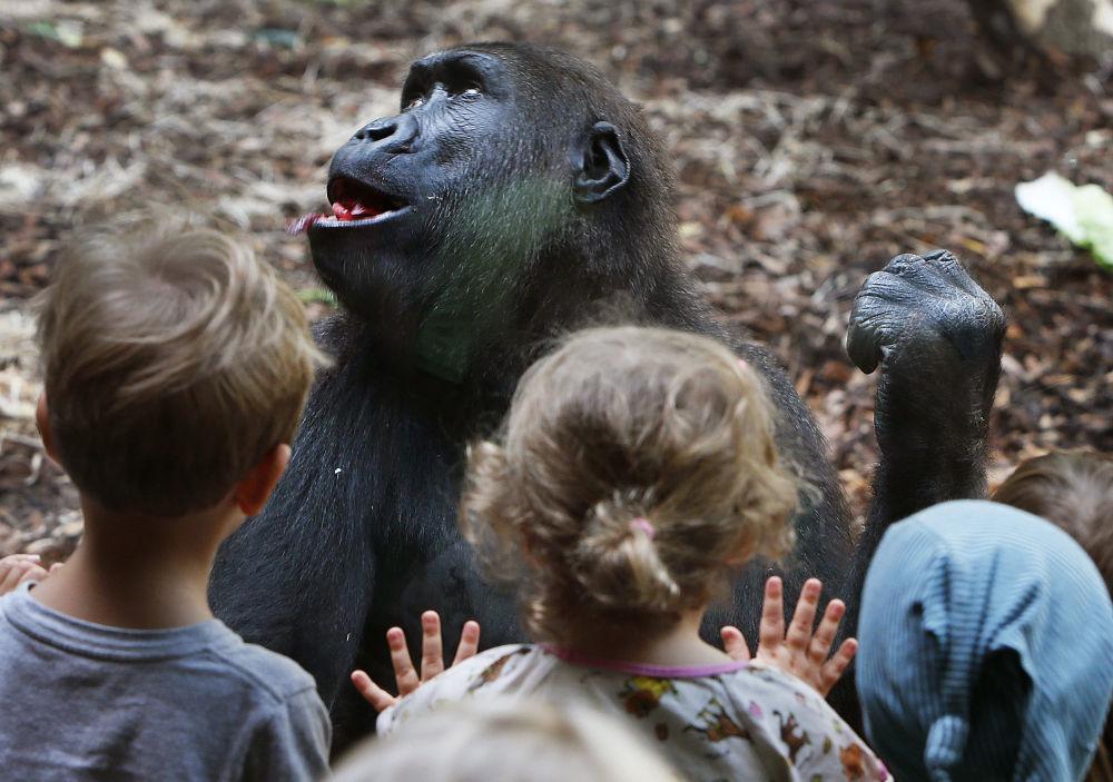 Bambini osservano una gorilla nello zoo di Francoforte, Germania.