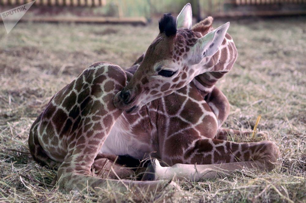 Un cucciolo della giraffa nello zoo di Kaliningrad.