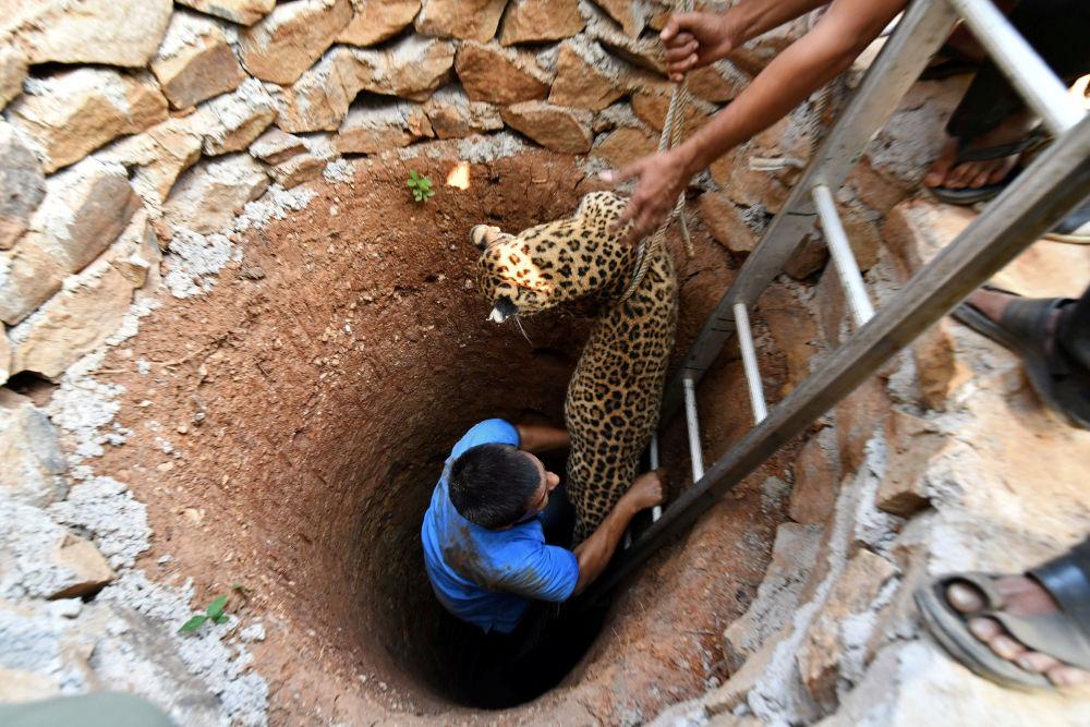 Il salvataggio del leopardo caduto nel pozzo nei pressi di Guwahati, India.