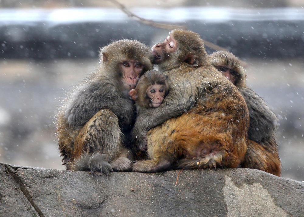 Scimmie si abbracciano durante una nevicata al monte Huaguo, Cina.