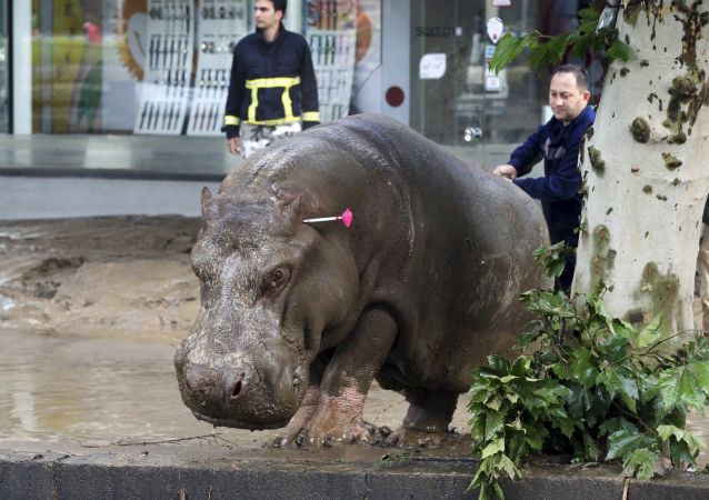 Un salvatore mostra la strada a un ippopotamo a Tbilisi.