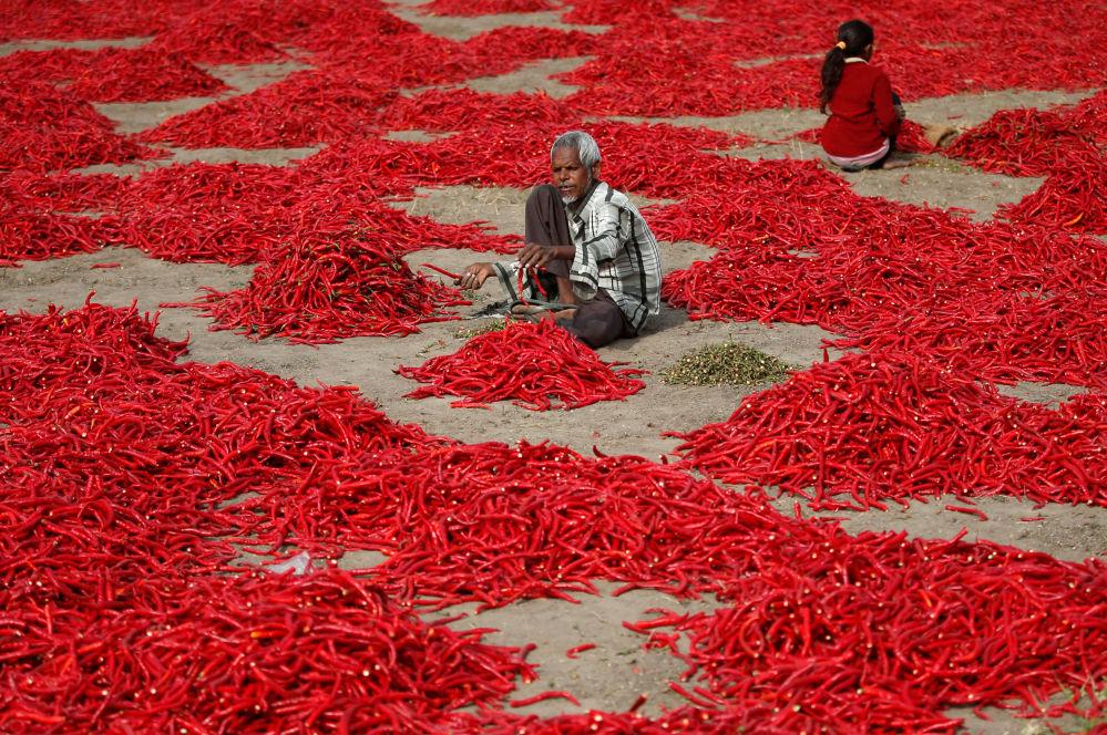 Un uomo monda chili in una fattoria nei pressi di Ahmedabad, India.