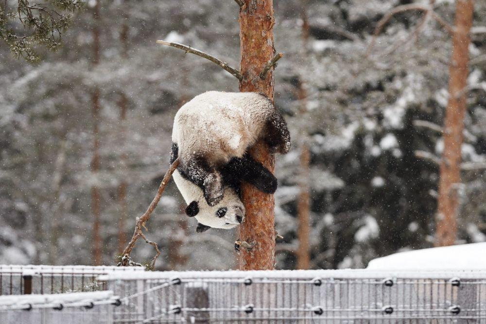Il panda Lumi durante una nevicata allo zoo Ahtari, Finlanda.