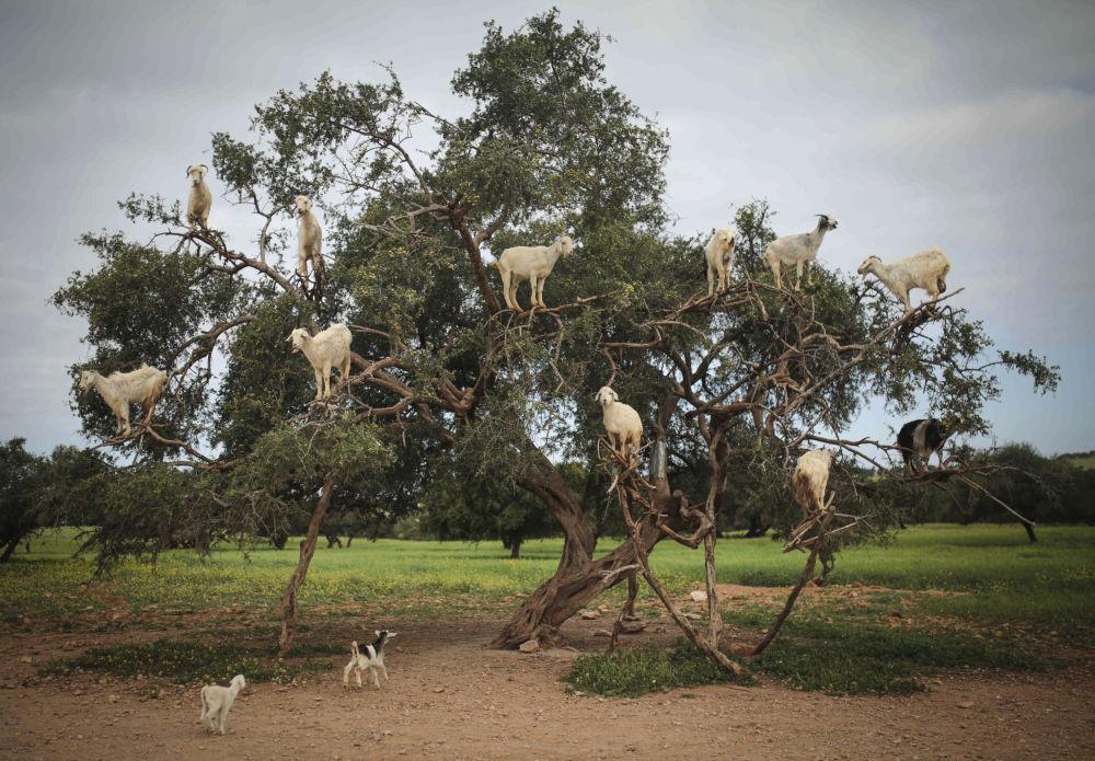Le capre in cerca del cibo sull'Argania Spinosa in Marocco.