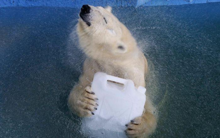 Un orso bianco Avrora nello zoo di Krasnoyarsk, Russia.