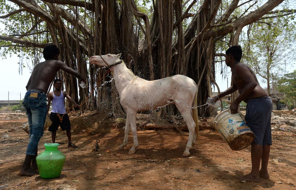 Un cavallo viene bagnato in India.