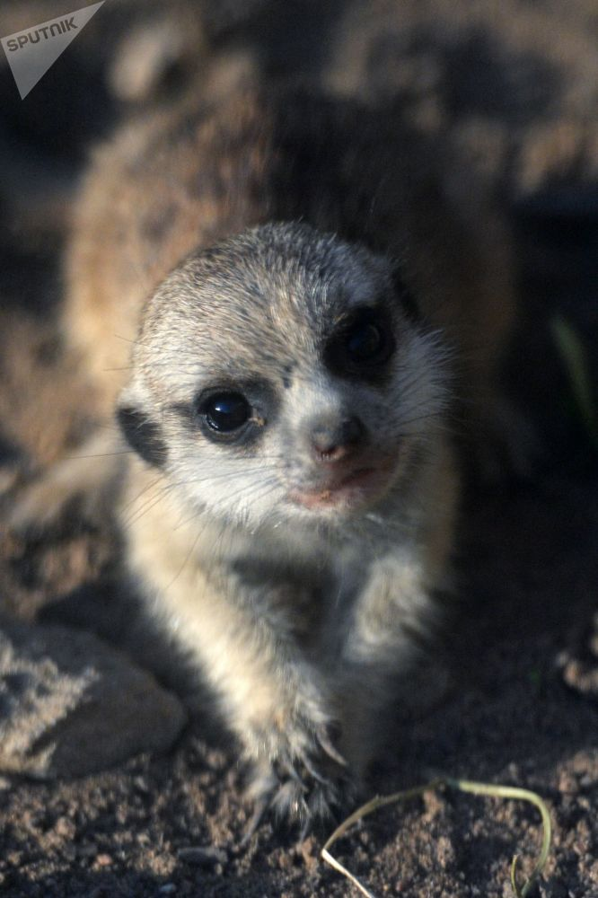 Il suricato neonato nello zoo di Mosca.