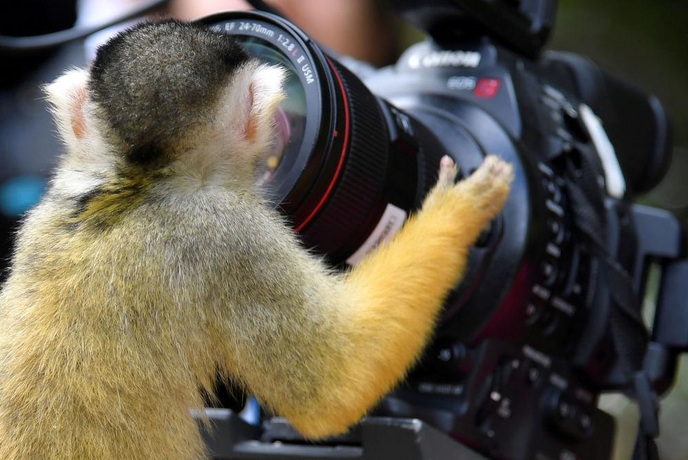 Una scimmia scoiattolo (saimiri) guarda nella camera nello Zoo di Londra.