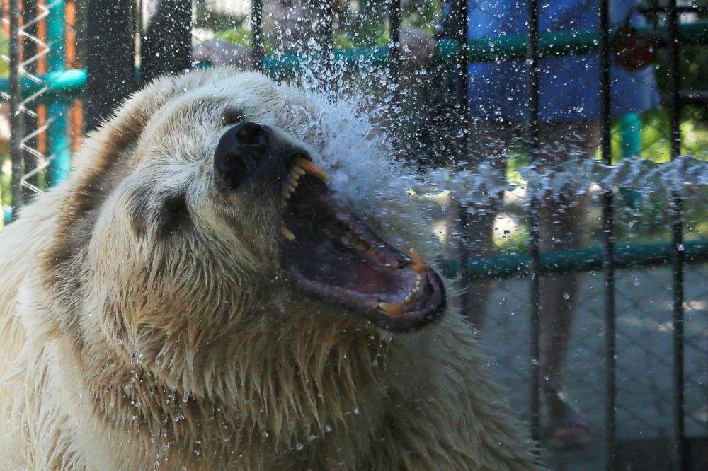 Un orso bianco è annaffiato per raffreddarsi nello Zoo di Krasnoyarsk.
