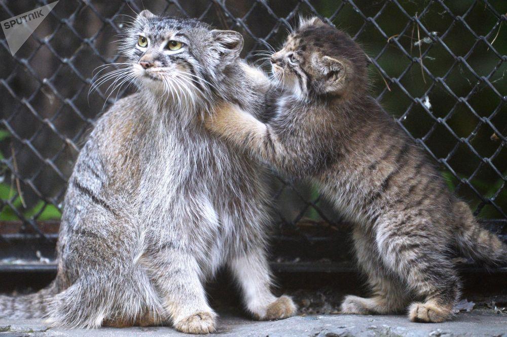 Gattini di Pallas allo zoo di Novosibirsk, Russia.