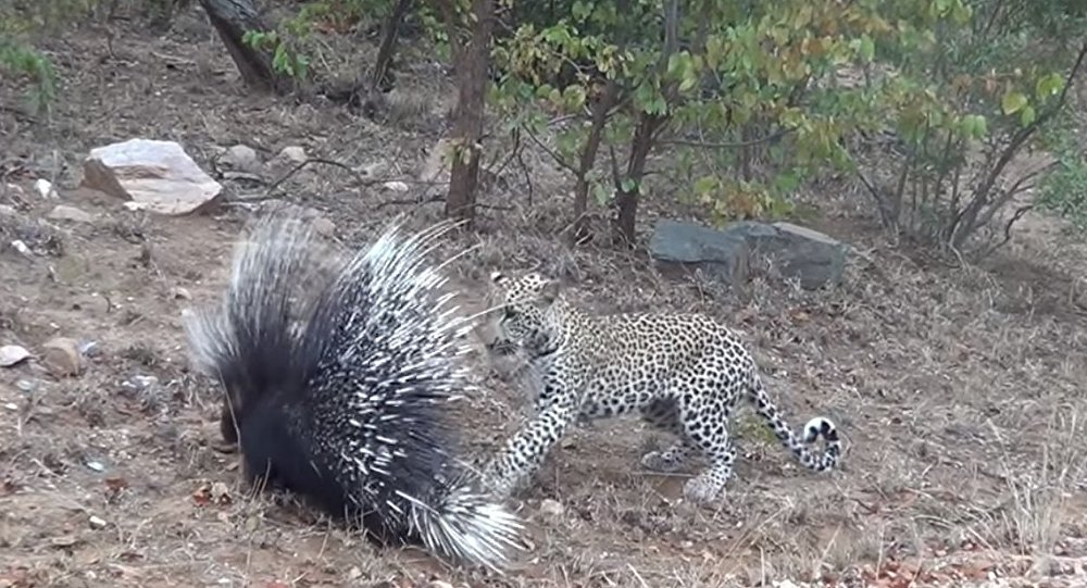 Leopard Porcupine