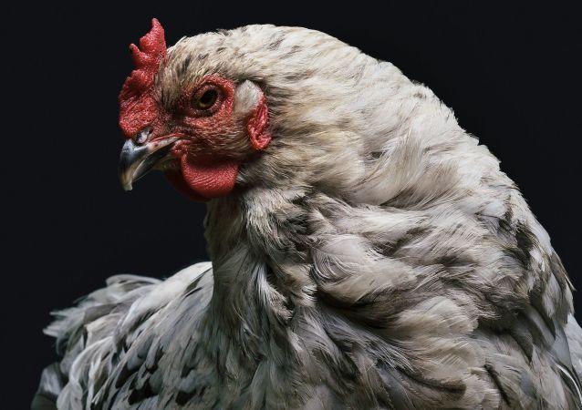 Un pollo