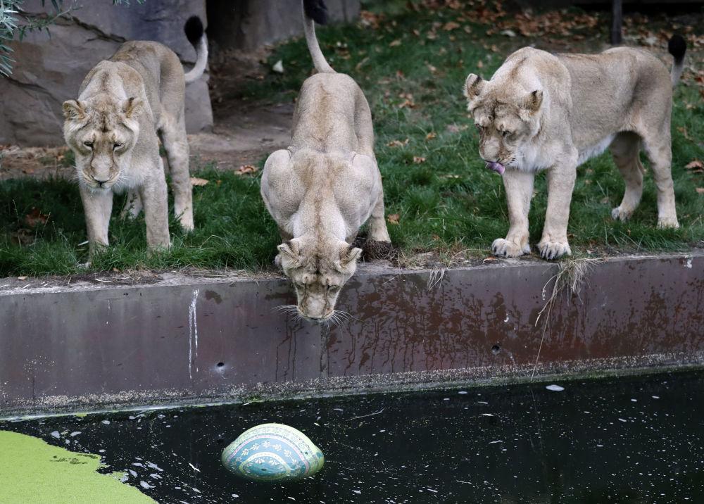 Leonesse allo zoo di Londra.