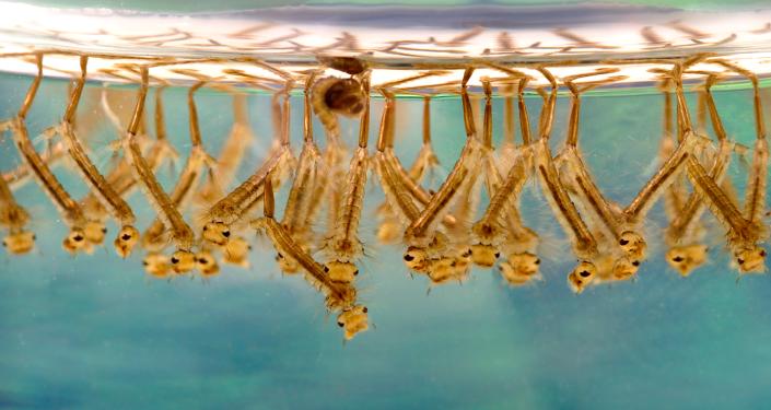 Larva di di zanzare