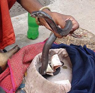 Snake charmer 'Sapera Baba' handling a cobra