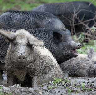 Wild pigs at the foot of Mount Demerdzhi.