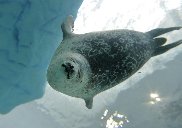 La foca Yuki nell'acquario di Osaka