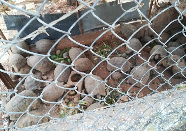 Un residente di Aleppo salva decine di tartarughe dalla guerra