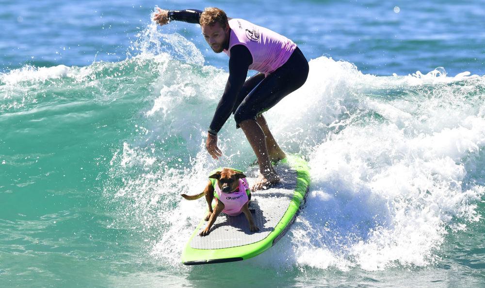 La gara annuale dei cani surfer Surf City Surf Dog, California.