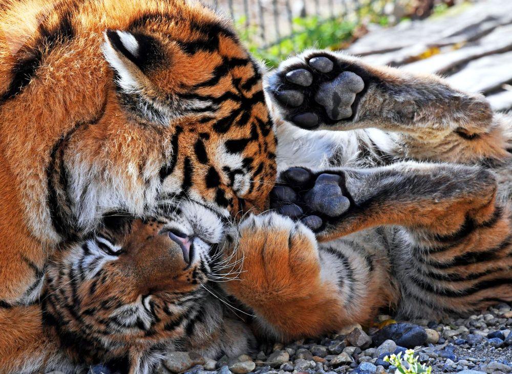 La giovane tigre Aleksa e il cucciolo Tajgan, portato dal parco crimeano di Tajgan, stanno sul territori dello zoo Sadgorod a Vladivostok