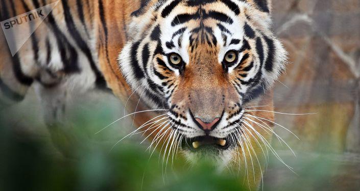 Tigre (foto d'archivio)