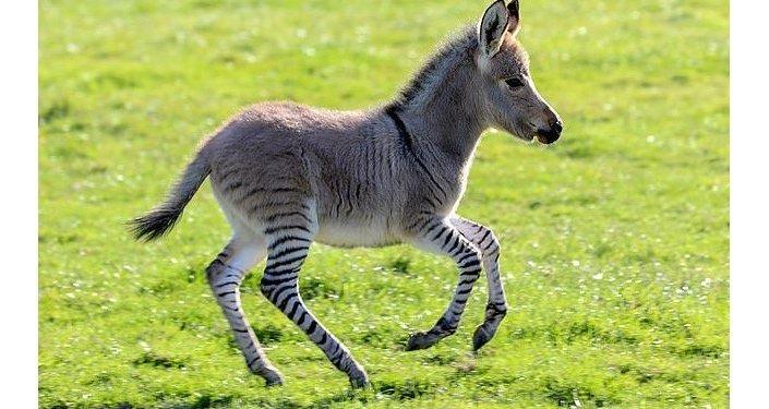 E' nato un cucciolo unico dopo l'accoppiamento di un asino e una zebra