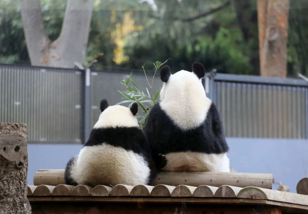 Panda femminile con la figlia in uno zoo di Tokyo.