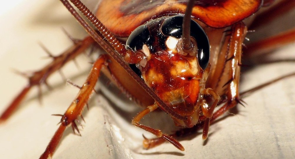 """Cockroaches were of particular interest in studying personality because - unlike other """"gregarious insects"""" such as ants - they don't have hierarchies or social structures within their social groups."""
