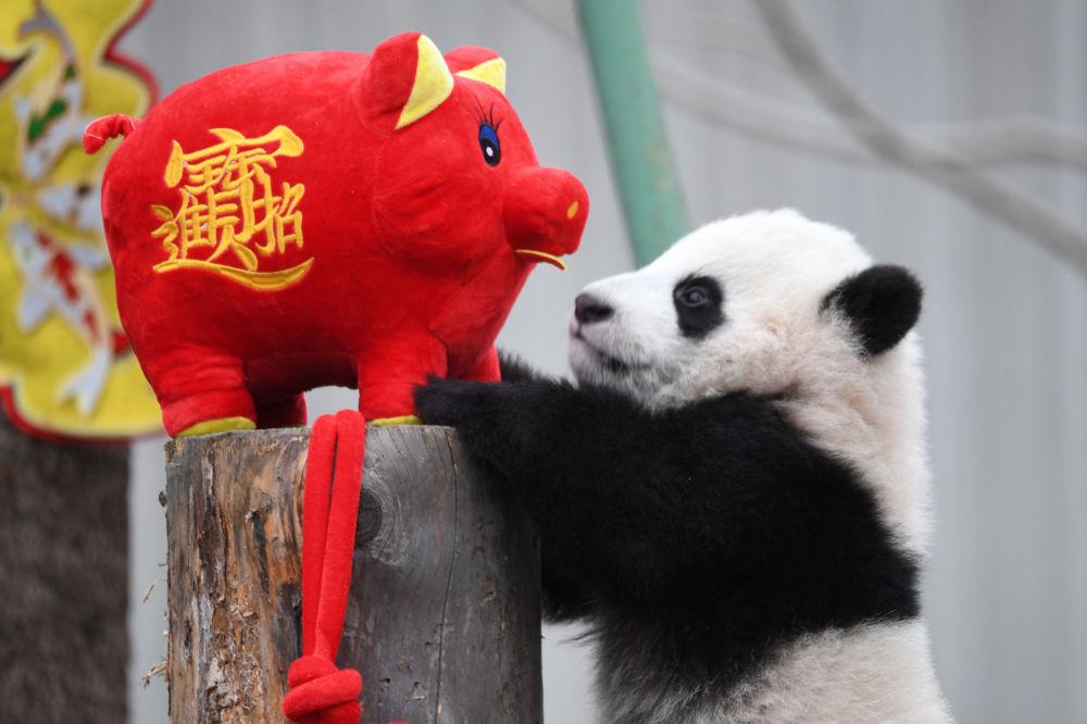 Un cucciolo di panda gioca con maialino, simbolo del Capodanno cinese nella provincia di Sichuan, Cina.