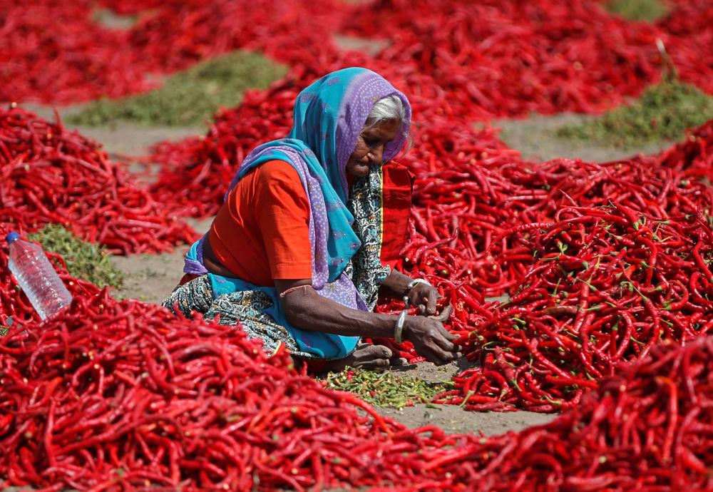 Elaborazione del pepe rosso nei pressi di Ahmedabad, India.