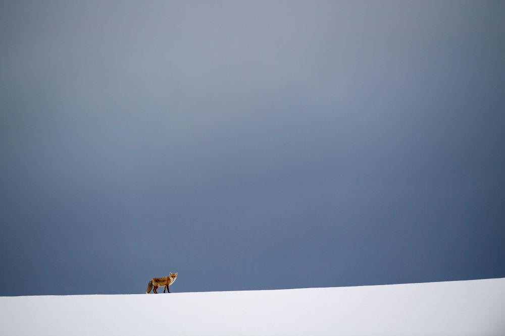 Una volpe nel campo ricoperto di neve a Erkenbollingen, Germania.